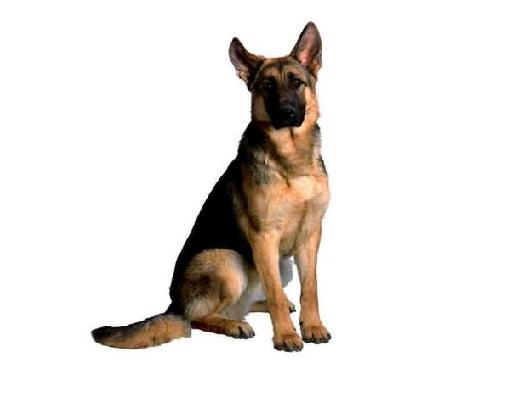 German Shephard.